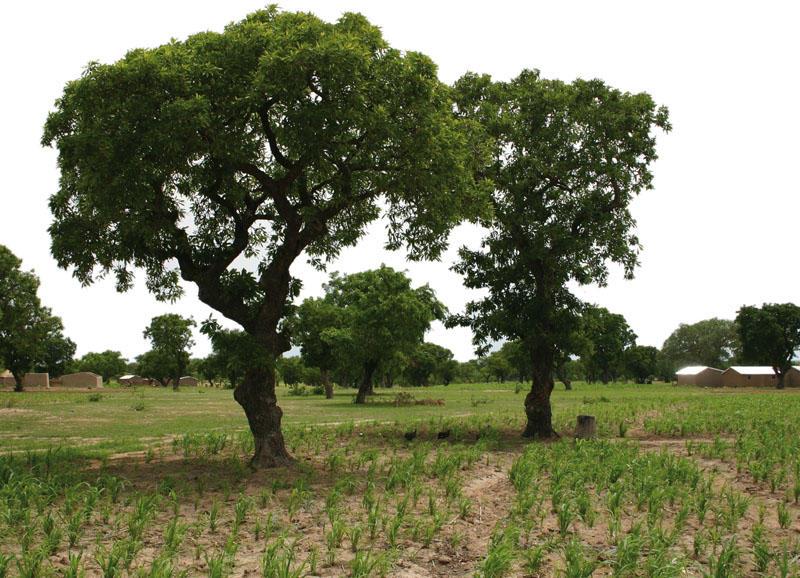 дървото ши при косопад