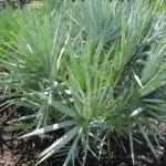 Палмата джудже (Serenoa repens) спира косопада и оплешивяването
